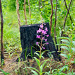 Stock Photo: Fireweed amid charred stump