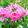 Rose pink bush - Stock Photo