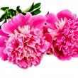 Peonies pink two — Stock Photo #18881263