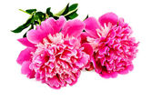Peonies pink two — Stock Photo
