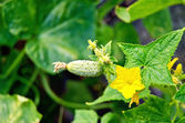 Cucumber small with a flower on the bush — Stock Photo