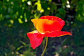 Poppies red on a background of grass — Foto Stock