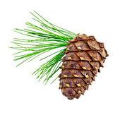 Cedar cones with twig — Stock Photo