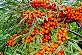 Buckthorn on a branch — Stock Photo
