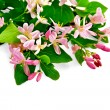 Honeysuckle with pink flowers bouquet — Stock Photo
