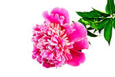 Peony pink with green leaves — Stock Photo