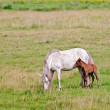 Horse white with a foal in the meadow — Stock Photo