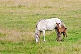 Cavalo branco com potro baía — Fotografia Stock