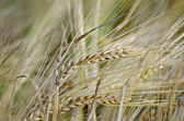 Bread spikelets on the field — Stock Photo