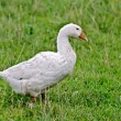 Goose white on a background of grass — Stock Photo