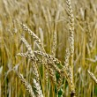 Spikelets of wheat on the field — Stock Photo