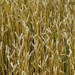 Wheat golden field — Stock Photo