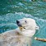 Polar bear in water — Stock Photo