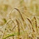 Rye ears on field background — Stock Photo #35543187