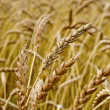 Spikelets of wheat against the background of a wheat field — Stock Photo #35543551
