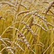 Spikelets of wheat in a wheat field — Stock Photo
