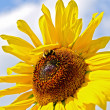 Sunflower with bumblebee — Stock Photo