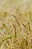 Rye ears on field background — Stock Photo