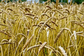 Spikelets of wheat against the background of a wheat field — Stock Photo