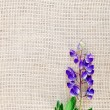 Lupine purple on sacking — Lizenzfreies Foto