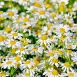 Camomile field medical — Stock Photo #39036919