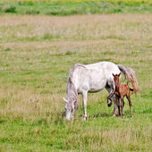 Horse white with bay foal on meadow — Stock Photo