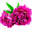 Peonies bright pink with leaf — Stock Photo #40144385