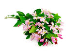 Honeysuckle with pink flowers lush — Stock Photo