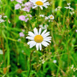 Camomile on background of grass — Stock Photo