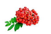 Rowan red with leaves — Stock Photo