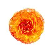 Ranunculus orange — Stock Photo