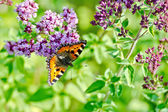 Butterfly orange on a flower oregano — Stockfoto