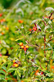 Rosehip berries on a bush — Stock Photo