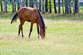 Young bay horse in the meadow — Stockfoto