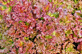 Salad red texture 2 — Stock Photo