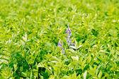 Fodder crop lathyrus — Stock Photo
