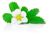 Flower of strawberry and leafs isolated on white background — Stock Photo