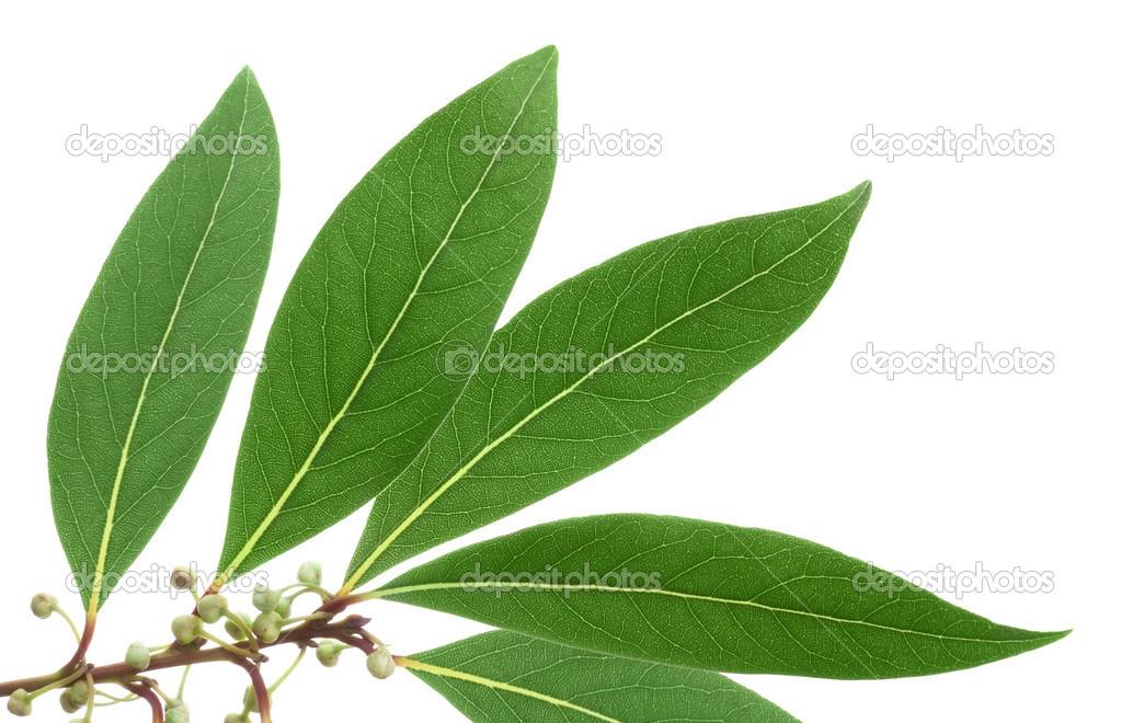 листья мандарина фото