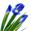 Three spring irises — Stock Photo