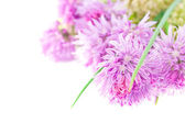 Macro photo of a pink allium isolated on white — Stock Photo