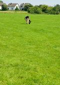 La vaca en la hierba verde — Foto de Stock