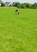 Kuh auf dem grünen gras — Stockfoto
