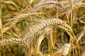 Wheat field, clouse up — Stock Photo