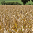 Wheat field, clouse up — Stock Photo #12491220