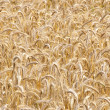 Stock Photo: Wheat field, clouse up