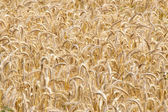 Wheat field, clouse up — Stock Photo