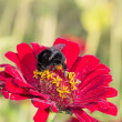 Diligent bumblebee — Stock Photo