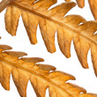 Autumn background. Dry leaf of fern isolated on white. — Foto Stock