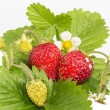 Stock Photo: Freshness. Vernal wild strawberry .