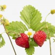 Freshness. Vernal wild strawberry . — Stock Photo